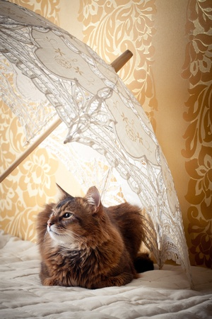 rudy: Rudy somali cat portrait under lace umbrella on vintage background