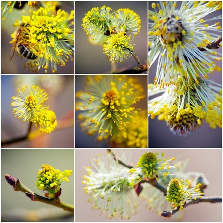 Close-up of Pussy Willow branches collection Stock Photo - 9488261