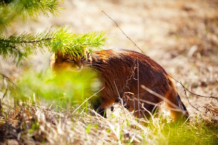 rudy: Somali cat hunting on spring dry grass