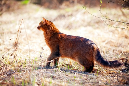 somali: Somalia gato caza sobre hierba seca de primavera