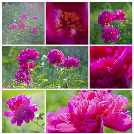 June collage with red Peony flowers in sunshine Stock Photo - 9874372