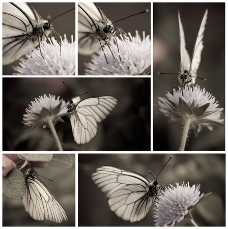 Close-up of White butterfly collection in monochrome Stock Photo - 9874375