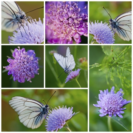 blossom honey: Close-up of White butterfly and Knautia arvensis collection Stock Photo