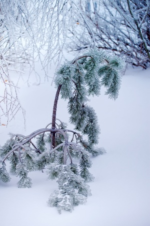 Close-up of ice on a pine-tree in winter photo