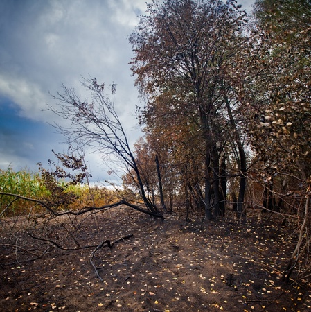 Mixed forest after fire at sunny day photo