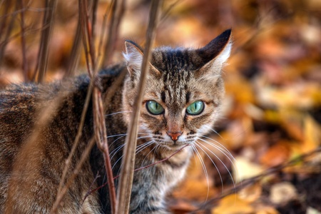 Mackerel tabby cat with green eye in autumn leaves Stock Photo - 10955957