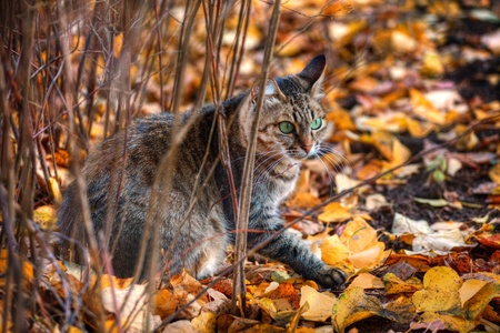 Mackerel tabby cat with green eye in autumn leaves photo