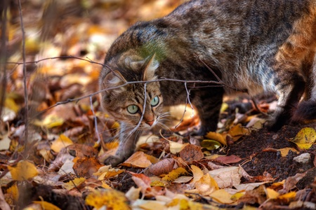 Mackerel tabby cat with green eye in autumn leaves Stock Photo - 10955954