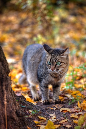 Mackerel tabby cat with green eye in autumn leaves Stock Photo - 10955928