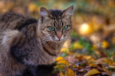 rudy: Mackerel tabby cat with green eye in autumn leaves