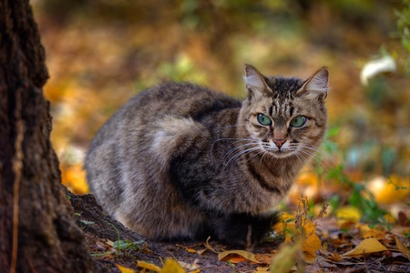 Mackerel tabby cat with green eye in autumn leaves Stock Photo - 10955947