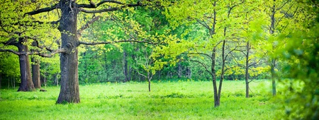 Panorama of a mixed forest with oak in spring sunny day