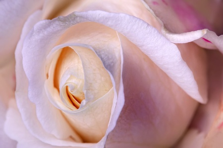 Macro flower beautiful pink rose photo