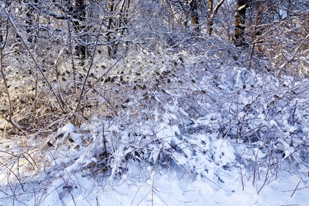 snow drop: Bushes under ice with sparrows