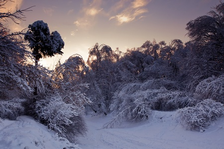 Winter forest panorama at sunny evening photo