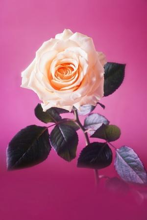 orange rose: Peach rose on purple background