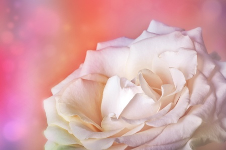 Peach rose on soft background with bokeh in watercolor look Stock Photo - 11473260