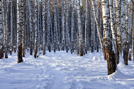 Winter birch grove with alley in sunny day photo