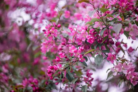 crab apple tree: Purple blossom Hall crabapple (Malus halliana) background