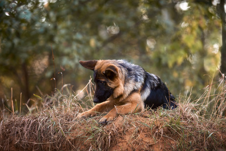 Beautiful exterior portrait of young 4 months old german shepherd dog in an autumn park