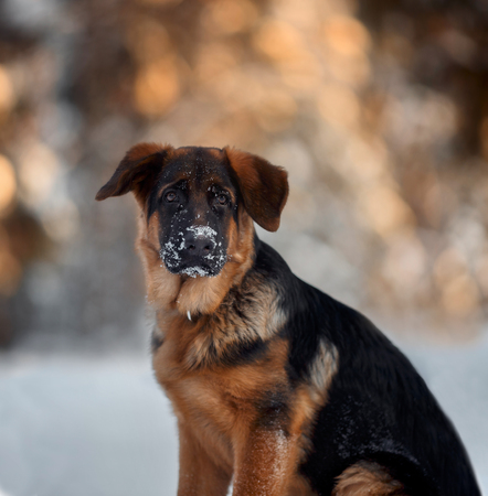 Red cute german shepard 4-th months puppy portrait  at snow at the winter.