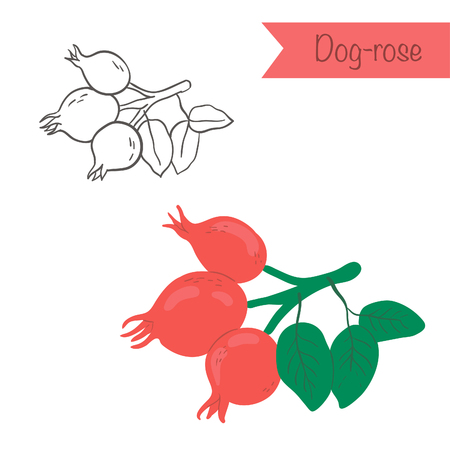 rose hips: Hand drawn outlined and colored vector dog rose Illustration