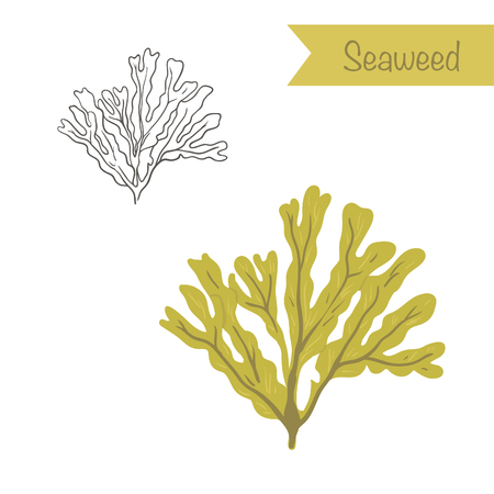 aquatic herb: Hand drawn outlined and colored Seaweed