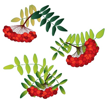 rowanberry: Set of rowan berries with leaves isolated on the white background Illustration