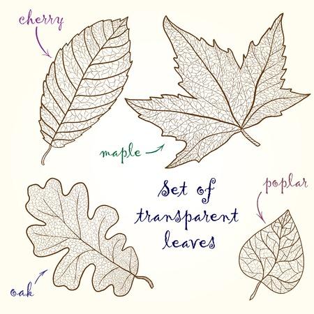 poplar: Collection of leaves  cherry, oak, maple, poplar