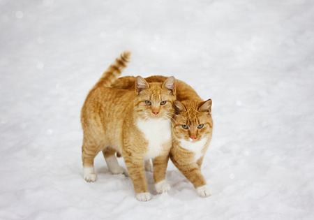 true love: two cats nestled to each other outdoor in snowy background, best friends forever