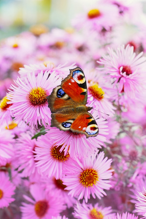 inachis: autumn pink chrysanthemum or aster flowers background with beautiful european peacock butterfly (latin name inachis io), lovely landscape of nature