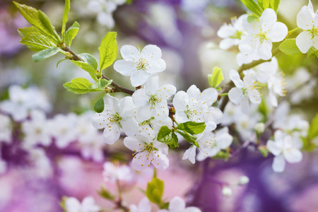 blossom cherry branch, beautiful spring flowers for vintage background, lovely landscape of nature photo