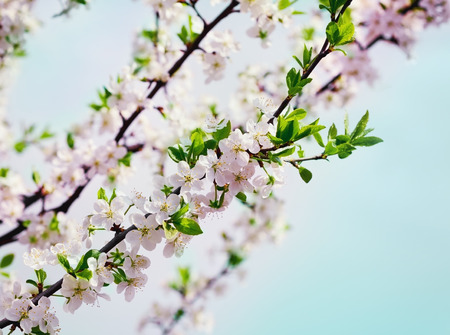blossom cherry or apple branch against blue sky, beautiful spring flowers for vintage background, lovely landscape of nature photo