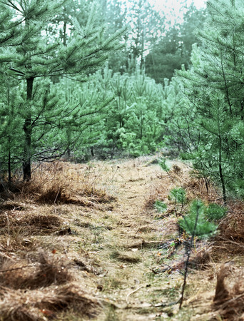 woodland scenery: forest road with pine trees, nature background, shallow depth of field