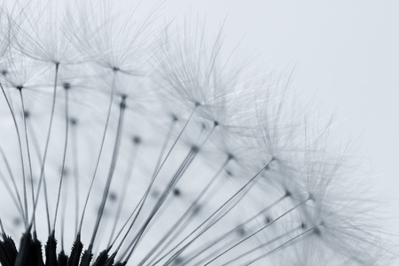 aqua flowers: Dandelion abstract background, closeup flowers feather, shallow depth of field Stock Photo