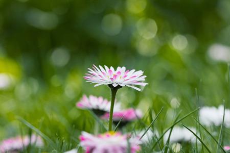 soft   focus: Daisy, spring flowers meadow, soft focus Stock Photo