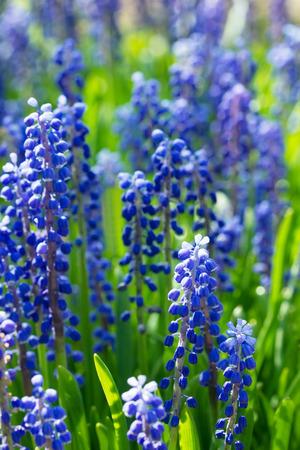 hyacinths: Meadow of  blue flowers, grape hyacinths in a sunlight Stock Photo
