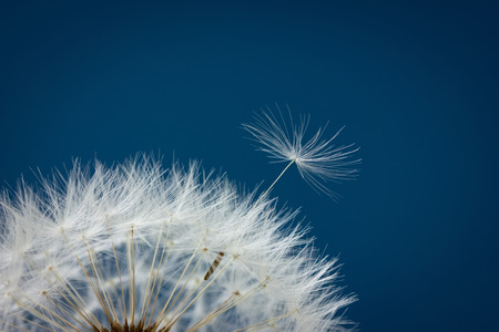 abstract seed: Dandelion abstract background, closeup flowers seed, shallow depth of field Stock Photo