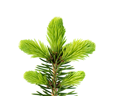 thorn tip: Young sprout of spruce isolated on white