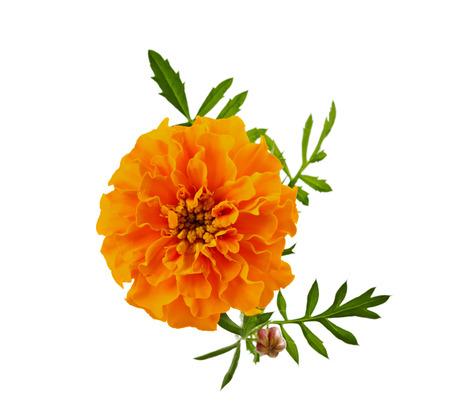 garden marigold: marigold flower isolated on white, Latin name Tagetes