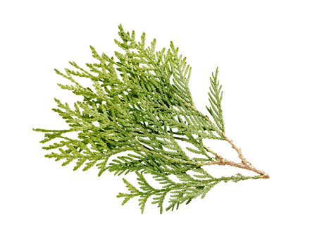 thuja: thuja branch isolated on white background Stock Photo