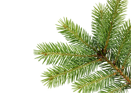 thorn tip: fir branch isolated on white background Stock Photo