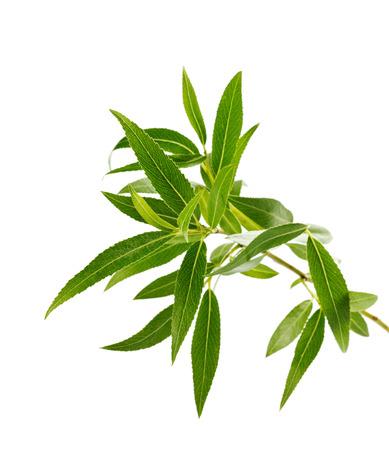 gałęzi wierzby z zielonymi liśćmi samodzielnie na białym tle