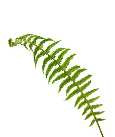 tip of the leaf: leaf fern isolated on white background