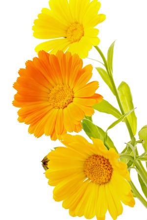 carotenoid: flores de cal�ndula aislado en el fondo blanco