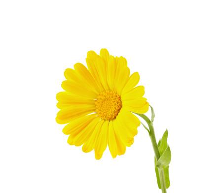 bactericidal: yellow calendula isolated on white background