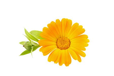 carotenoid: cal�ndula flor aislada sobre fondo blanco