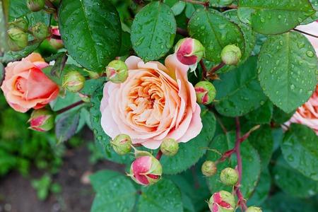 roses garden: rose in the garden after the rain