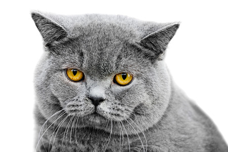 british pussy: portrait of gray british cat with a sad yellow eyes, isolated on white