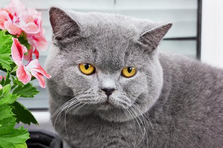 catlike: gray british cat with yellow eyes